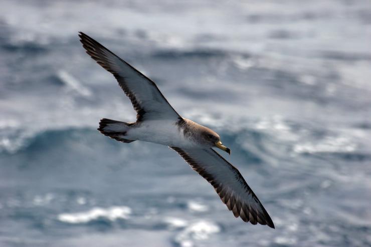Exemplar de pardela cincenta / Axencia SINC. Unha pardela cincenta co seu ovo / SEO-BirdLife.