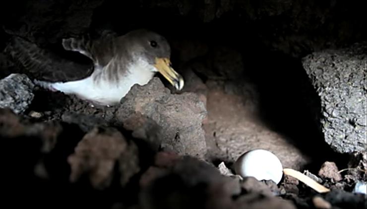 Unha pardela cincenta co seu ovo