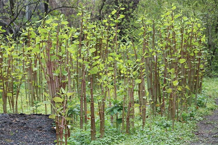 A fallopia japonica, unha das especies invasoras máis perigosas de Galicia