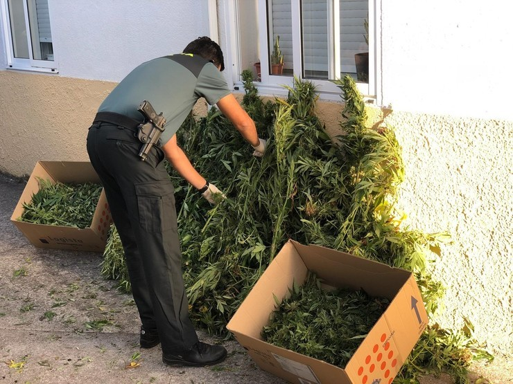 Plantas de marihuana incautadas a un veciño de Celanova. GUARDIA CIVIL / Europa Press
