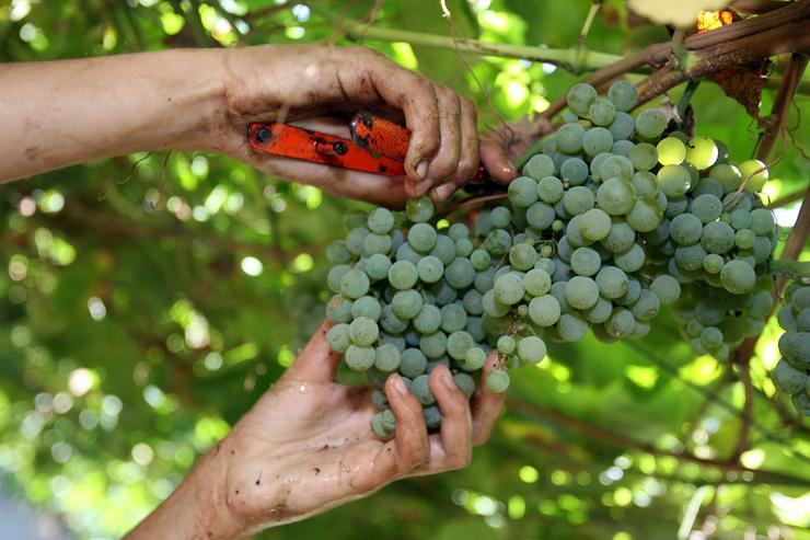Uvas colleitadas na vendima das Rías Baixas / Europa Press.