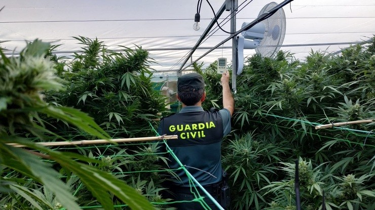 Plantación de marihuana intervida pola Garda Civil. GUARDIA CIVIL